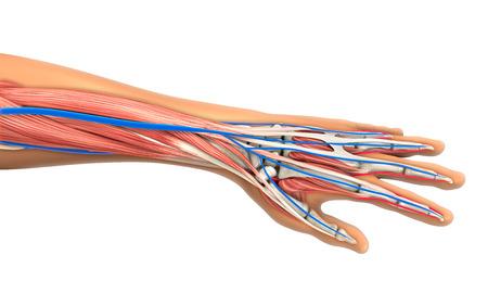 人体解剖学のイラスト 写真素材