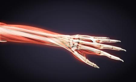 phalanx: Human Hand Anatomy Illustration Stock Photo