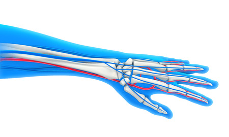 Menschliche Arme Anatomie-Diagramm Zeigt Knochen Und Muskeln ...