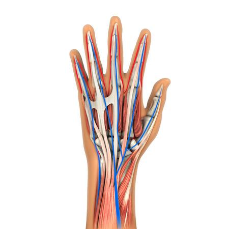 bone anatomy: Human Hand Anatomy Illustration Stock Photo
