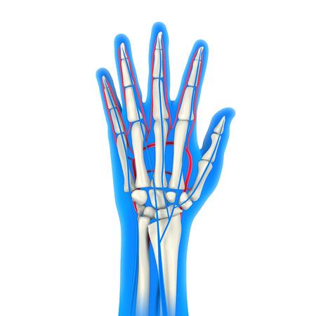 healthy arteries: Human Hand Anatomy Illustration Stock Photo