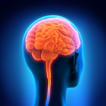 right ideas: Human Brain Anatomy