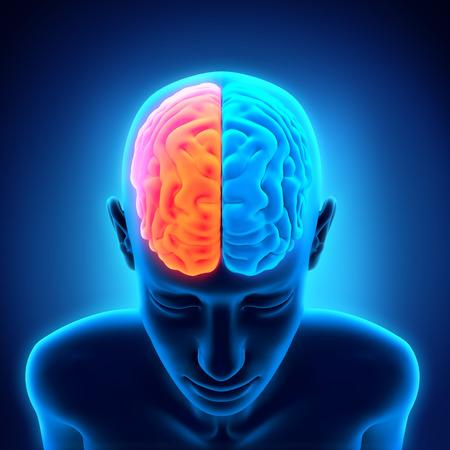 right ideas: Anatom�a del cerebro humano Foto de archivo