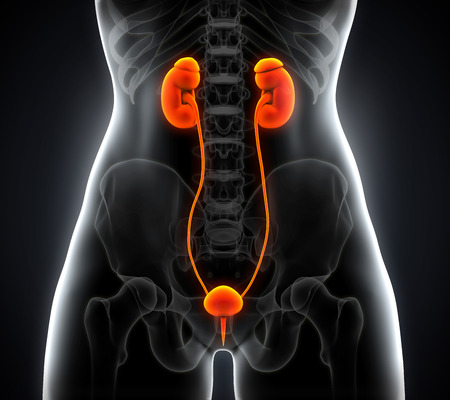 Human Female Kidney Anatomy Stock Photo - 28039927
