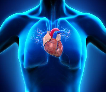 cardiovascular: Human Heart Anatomy