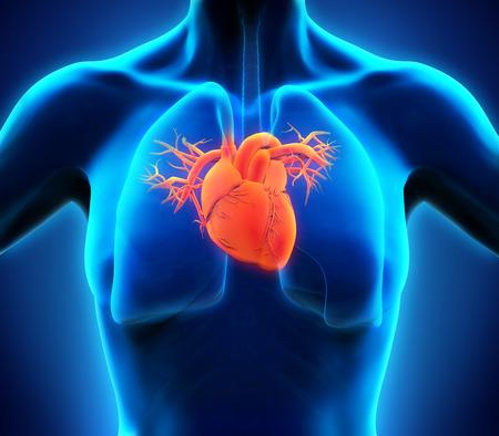heart anatomy: Human Heart Anatomy
