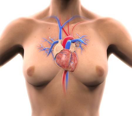 circulatory: Human Heart Anatomy