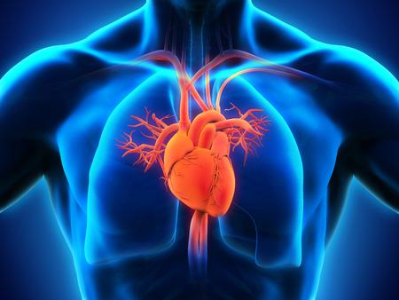 corazon humano: Anatomía del corazón humano