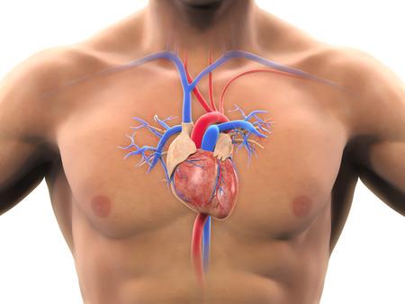 anatomia humana: Anatom�a del coraz�n humano