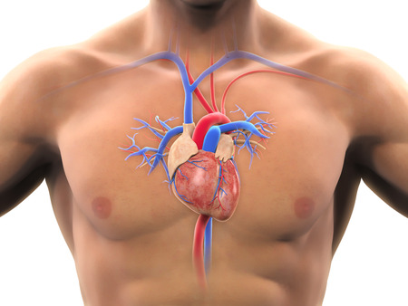 Anatomie humaine de coeur Banque d'images