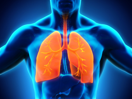 lung bronchus: Human Respiratory System Stock Photo
