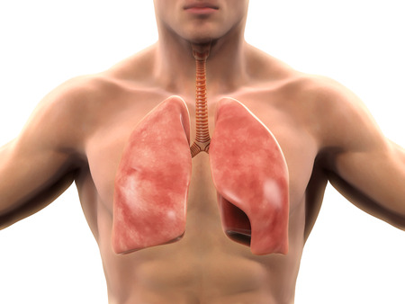 MUSCULAR SYSTEM: Human Respiratory System Stock Photo