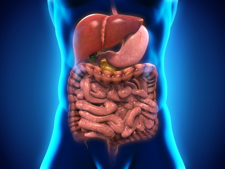Human Digestive System Stock Photo - 28357604