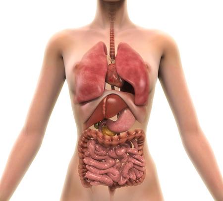 sistema digestivo: Vista anterior del cuerpo humano