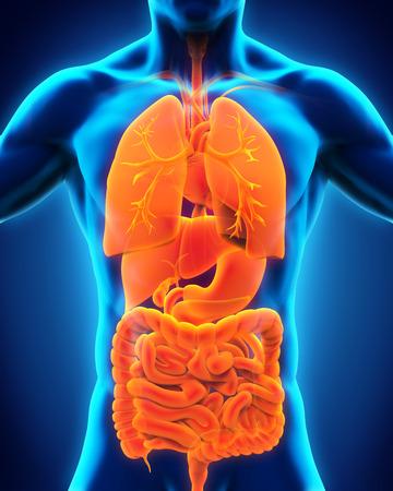 organos internos: Vista anterior del cuerpo humano