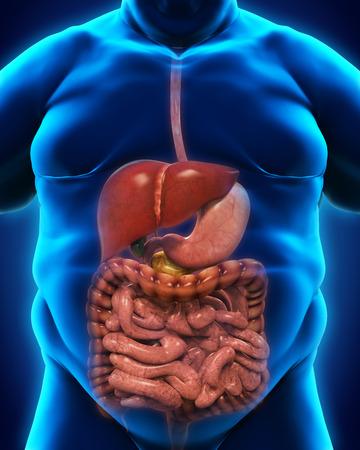 sistema digestivo: Sistema digestivo de sobrepeso corporal Foto de archivo