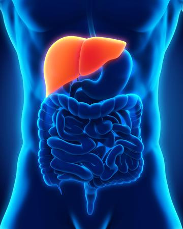 Human Liver Anatomy Stock Photo - 28357630