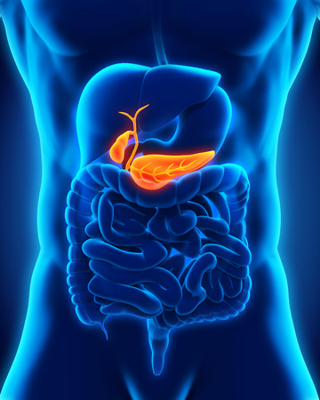 Human Gallbladder and Pancreas Anatomy photo