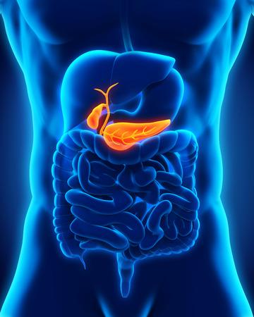 trzustka: Ludzka Anatomia trzustki i pęcherzyka żółciowego Zdjęcie Seryjne