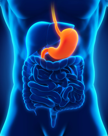 Human Stomach Anatomy Stock Photo - 28357641