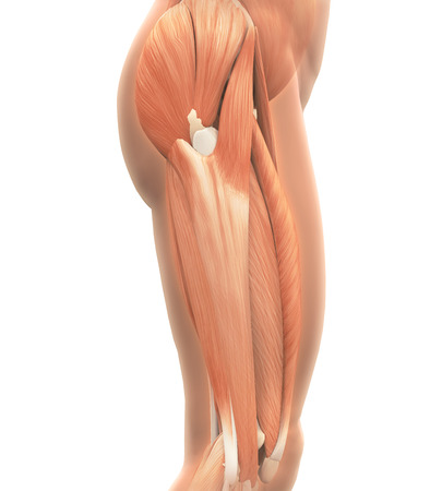 Anatomia Mięśnie górnej Nogi Zdjęcie Seryjne