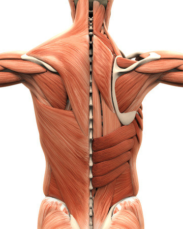 背中の筋肉の解剖学