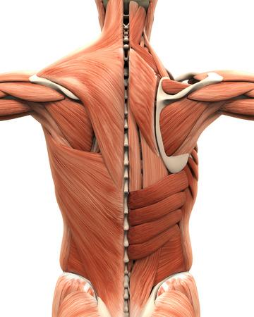 Gespierde Anatomie van de Back