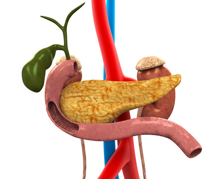 cystic duct: Pancreas, Gallbladder and Duodenum Anatomy Stock Photo