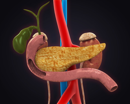 duodenum: Pancreas, Gallbladder and Duodenum Anatomy Stock Photo