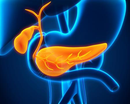 ひと胆嚢および膵臓の解剖学 写真素材
