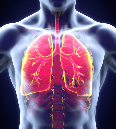 lung disease: Human Respiratory System Stock Photo
