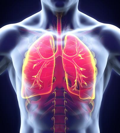asma: Sistema respiratorio humano