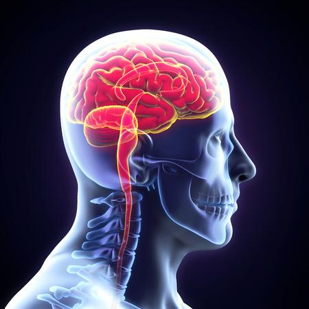 Human Brain Anatomy photo