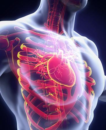 vasos sanguineos: Anatom�a del coraz�n humano
