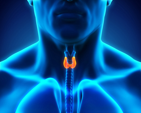 endocrine: Human Thyroid Gland