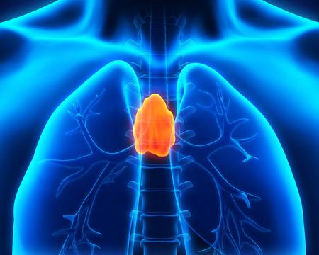 Menschlichen Thymus Anatomie Standard-Bild - 30511421