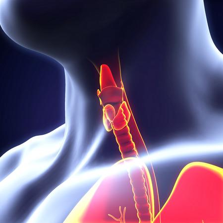 hypothyroidism: Human Thyroid Gland