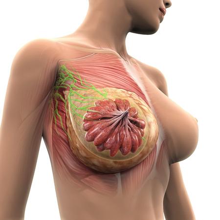 seni: Female Anatomy seno Archivio Fotografico