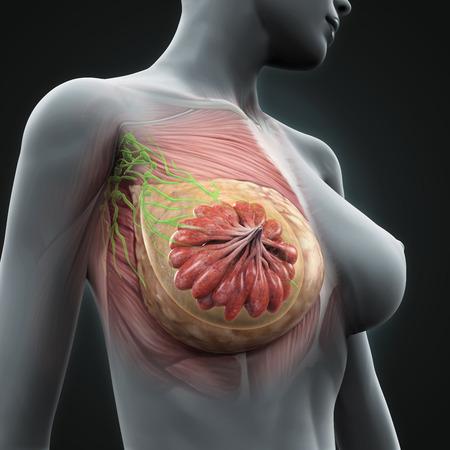 Querschnitt Der Weiblichen Brust Und Die Lymphdrainage Und Die ...