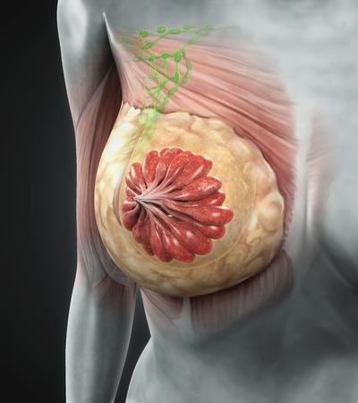 cancer x ray: Female Breast Anatomy