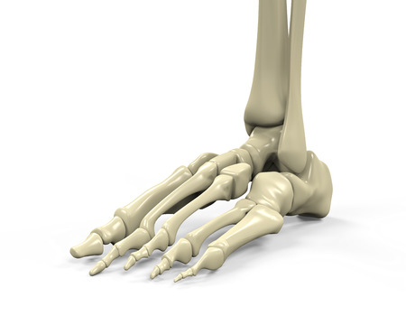 navicular: Foot Skeleton Anatomy