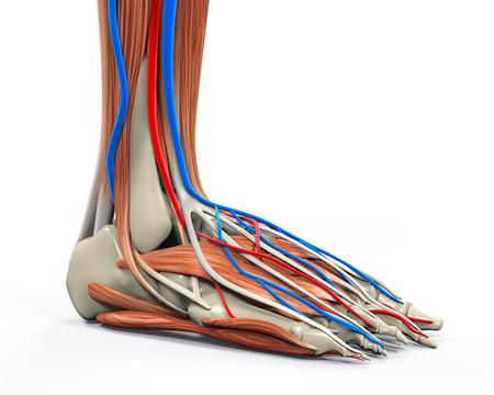 distal: Pie humano Músculos Anatomía