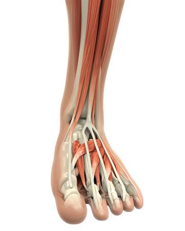 Pie humano Músculos Anatomía