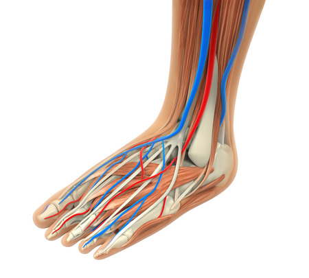 navicular: Human Foot Muscles Anatomy