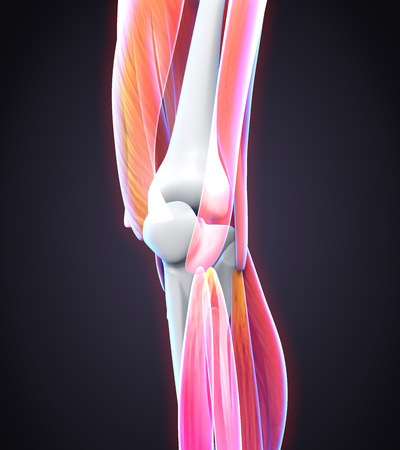 leg injury: Human Knee Anatomy Stock Photo