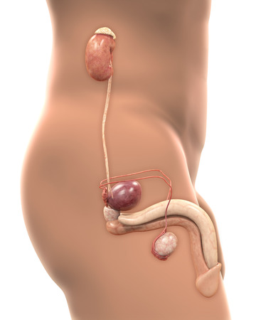 male anatomy: Male Genitourinary System Stock Photo