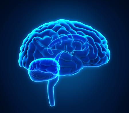 nervios: Anatomía del cerebro humano Foto de archivo