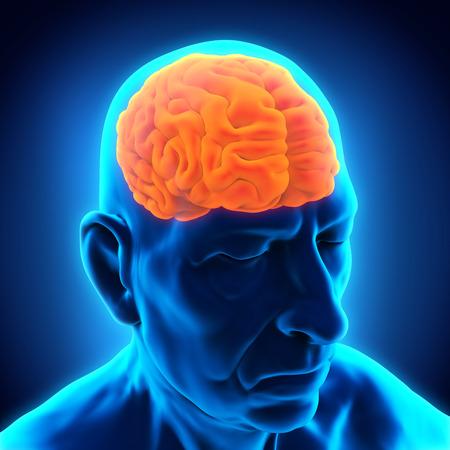 Ancianos Anatomía Cerebro Masculino Foto de archivo - 31423528
