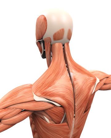 Anatomie musculaire du Retour Banque d'images - 32719846