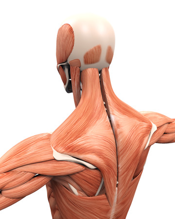 dorsi: Muscular Anatomy of the Back